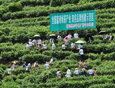 和平茶业示范园