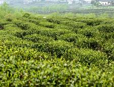 和平茶业茶园基地