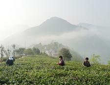 和平茶业皇家茶园
