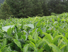 和平茶园茶叶细节图
