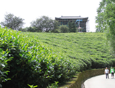 和平茶园基地小道