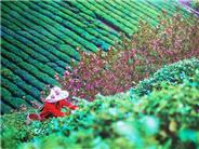 紫阳富硒春茶强势抢占市场