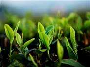 中国茶的分布种植