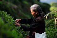 紫阳富硒茶:悄然发力
