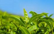 明前茶 两片芽;雨前茶 香气扬